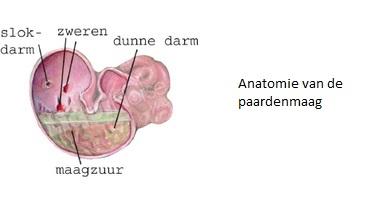 Anatomie maag